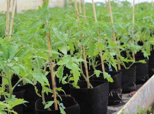 Plants_tomates